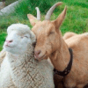 Овечки и козы