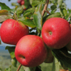 Листья и плоды
